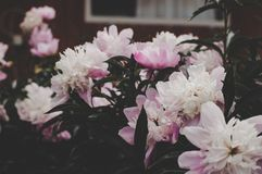 Selective Focus Photo of White Petaled Flowers Royalty Free Stock Photos