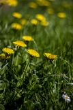 Selective Focus Photo of Yellow Petaled Flower royalty free stock image