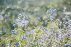 Selective Focus Photography of Blue Ageratum Flowers Royalty Free Stock Photo