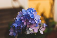 Selective Focus Photography of Blue Hydrangea Flowers stock photo