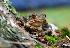 Selective Focus Photography of a Brown and Black Frog Royalty Free Stock Photography