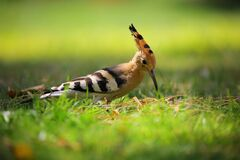 Selective Focus Photography of Brown Black and White Long Beak Bird on Green Grass Stock Photography