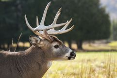 Selective Focus Photography of Brown Buck on Grass Field Royalty Free Stock Photos