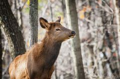 Selective Focus Photography of Brown Deer in Forest royalty free stock photography