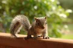 Selective Focus Photography of Brown Squirrel Royalty Free Stock Image