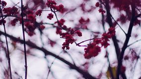Selective Focus Photography of Cherry Blossom Royalty Free Stock Photography