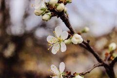 Selective Focus Photography Cherry Blossom Flowers Royalty Free Stock Images