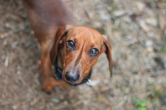 Selective Focus Photography of Dachshund Royalty Free Stock Photography