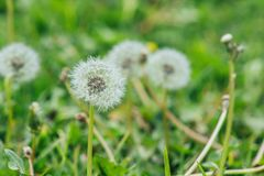 Selective Focus Photography of Dandelion Stock Photos