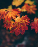 Selective Focus Photography of Dried Maple Leaf Royalty Free Stock Photos