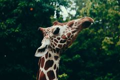 Selective Focus Photography of Giraffe Head royalty free stock image