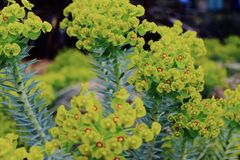 Selective Focus Photography Green Euphorbia Milii Flowers Stock Photo