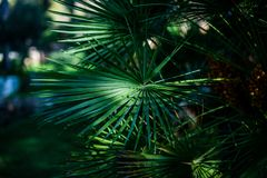 Selective Focus Photography Of Green Fan Palm Leaves royalty free stock images