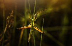 Selective Focus Photography of Green Grasshopper on Leaf royalty free stock photos