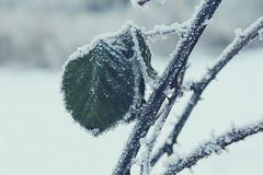 Selective Focus Photography of Green Leaf on Branch With Snow stock photo