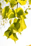 Selective Focus Photography of Green Leaves royalty free stock photography