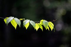 Selective Focus Photography of Green Leaves royalty free stock image