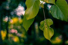 Selective Focus Photography of Green Leaves royalty free stock photo