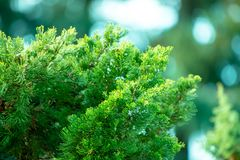 Selective Focus Photography of Green Pine Tree stock photo
