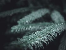 Selective Focus Photography Of Green Pine Tree Leaf royalty free stock images