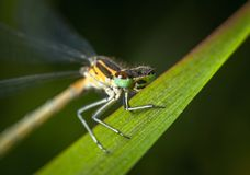 Selective Focus Photography of Green and Yellow Dragonfly Perched on Green Leaf Royalty Free Stock Images