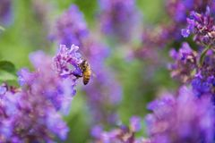 Selective Focus Photography of Honey Bee on Lavender stock images