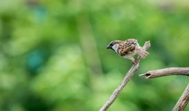 Selective Focus Photography of House Sparrow Perching on Tree Branch royalty free stock images