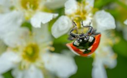 Selective Focus Photography of Ladybug Perched on White Petaled Flower royalty free stock photo