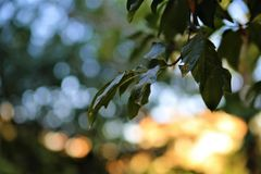 Selective Focus Photography of Leaves royalty free stock photo