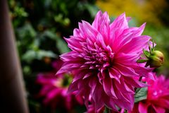 Selective Focus Photography of Magenta Flower Royalty Free Stock Images