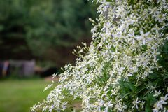 Selective focus photography. Nature background. Shrub with white flowers. Selective focus photography. Nature background. Shrub with white flowers royalty free stock photos