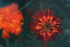 Selective Focus Photography of Orange Petaled Flowers Stock Photos