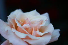 Selective Focus Photography of Orange Rose Flower Stock Images