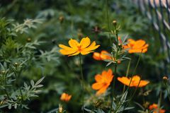 Selective Focus Photography of Orange Sunroot Flowers royalty free stock photos