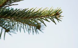 Selective Focus Photography of Pine Leaves stock photo