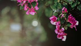 Selective Focus Photography of Pink Bougainvillea Flowers Stock Images