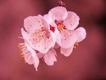 Selective Focus Photography of Pink Cherry Blossom Flower royalty free stock image
