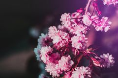 Selective-focus Photography of Pink Flowers Stock Images