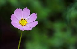 Selective Focus Photography of Pink Petaled Flower Royalty Free Stock Image