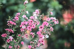 Selective Focus Photography of Pink Petaled Flowers Royalty Free Stock Photos