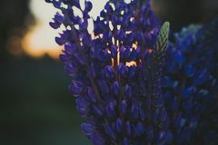 Selective Focus Photography of Purple Lupine Flowers stock image