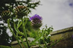 Selective Focus Photography of Purple Thistle Flower Royalty Free Stock Photos