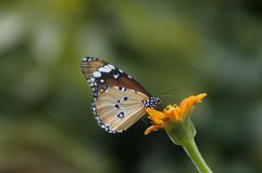 Selective Focus Photography of Queen Butterfly Pollinating on Orange Petaled Flower Stock Image