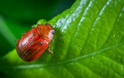 Selective Focus Photography of Red Beetle Perched on Green Leaf Plant Stock Photos
