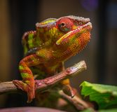 Selective Focus Photography of Red and Green Reptile Royalty Free Stock Photography