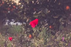 Selective Focus Photography of Red Petaled Flower Royalty Free Stock Image