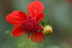 Selective Focus Photography of Red Petaled Flower Royalty Free Stock Photography