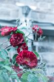 Selective Focus Photography of Red Rose Royalty Free Stock Photo