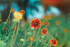 Selective Focus Photography of Red and Yellow Petaled Flower Royalty Free Stock Image