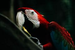 Selective Focus Photography of Scarlet Macaw Royalty Free Stock Photo
